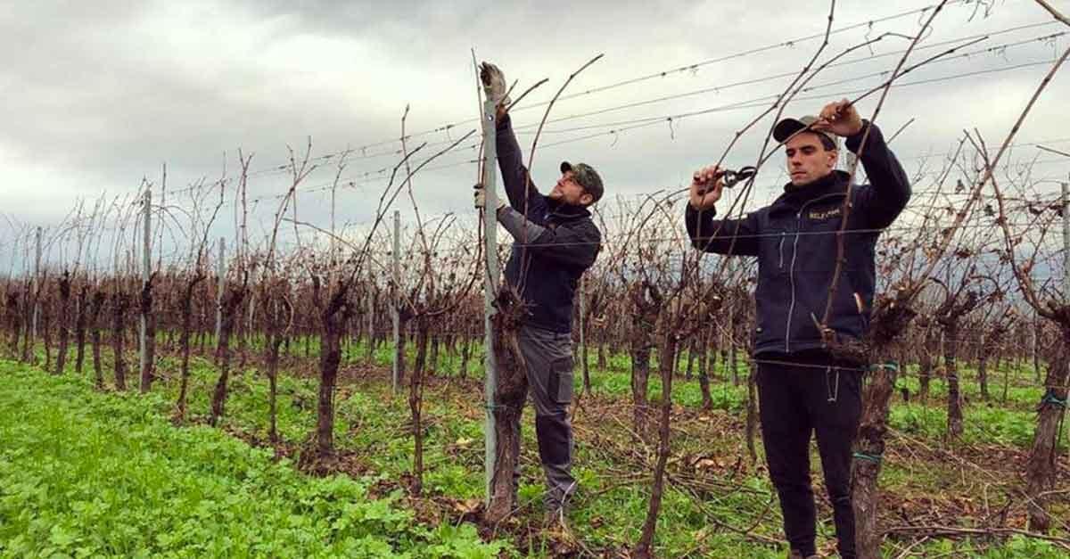 la potatura delle viti