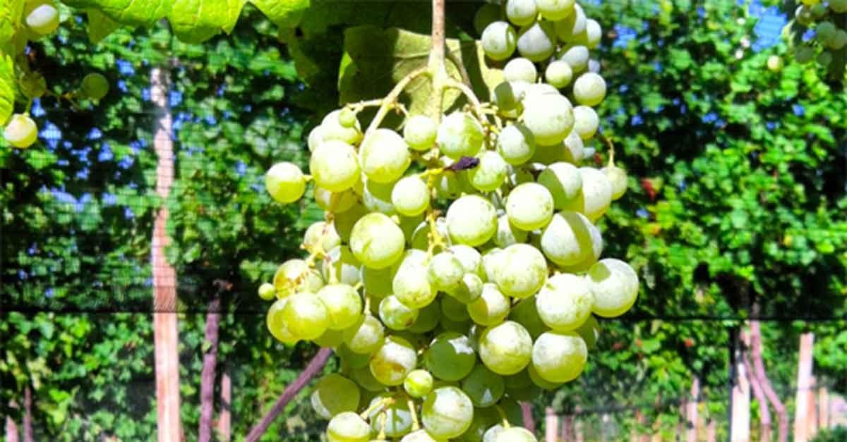 grappolo uva glera 2013