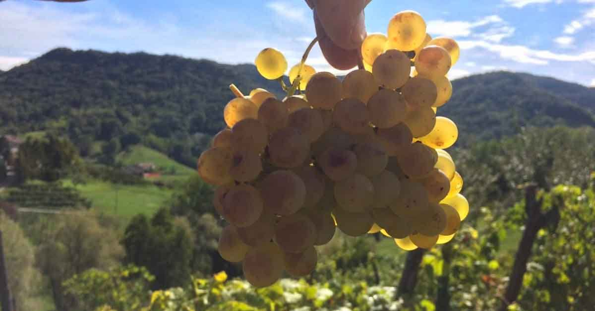 Glera is what makes Prosecco but it's not the only grape variety in the wine.