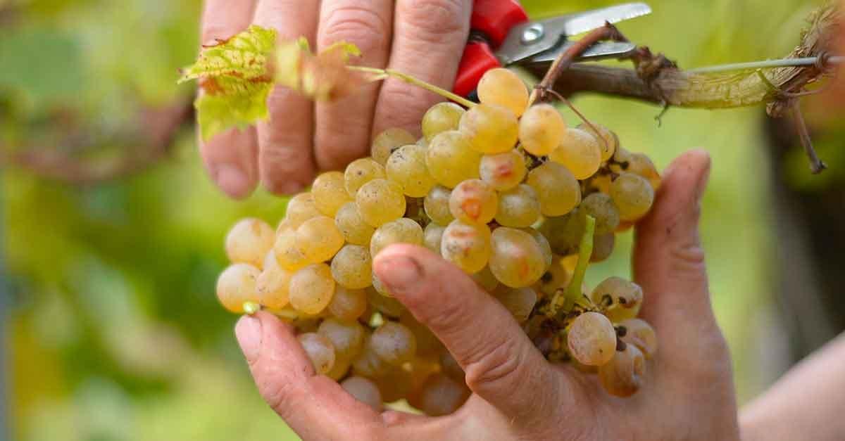 grappolo uva rabbiosa vecchie uve
