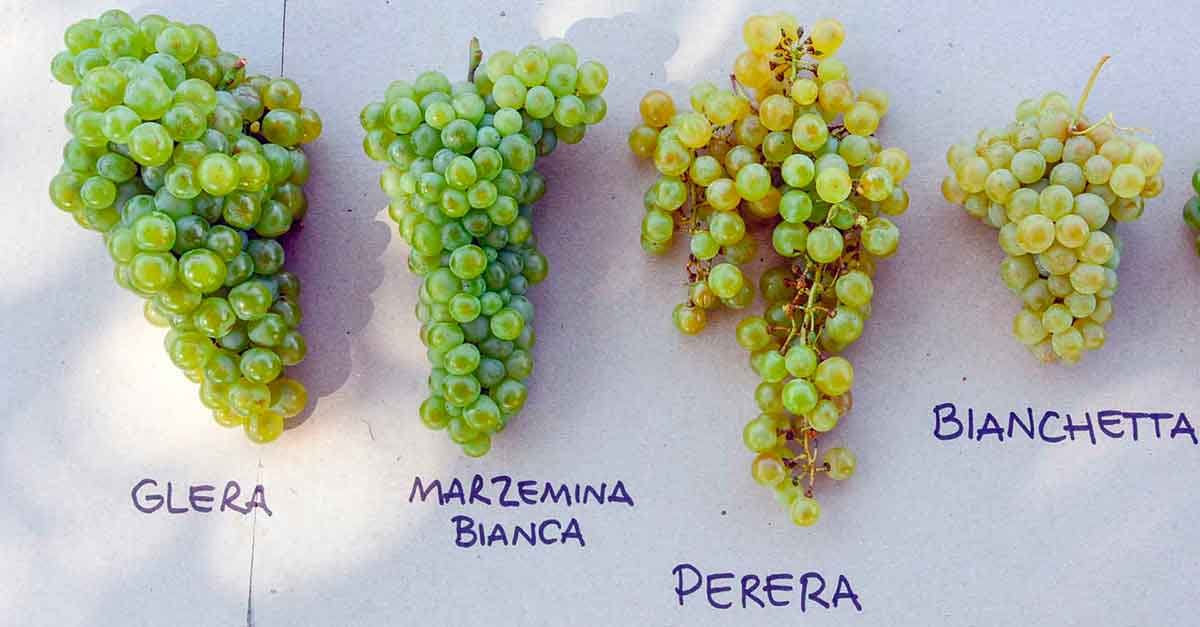 le uve dei vini bele casel