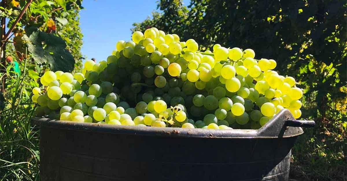 Harvest in Asolo began 10 days ago.