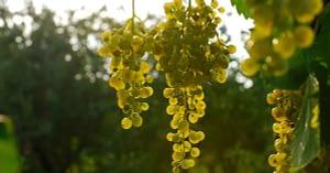 uva e prosecco