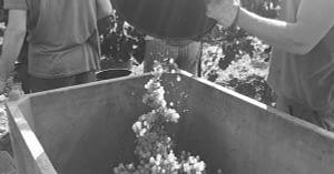 Raccolta dell'uva per fare vino prosecco