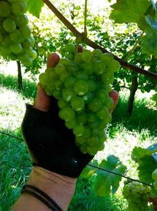 grappoli bianchetta trevigiana agosto 2014