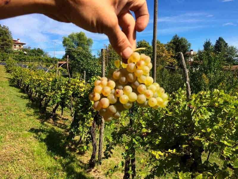 grappolo di uva bianchetta trevigiana